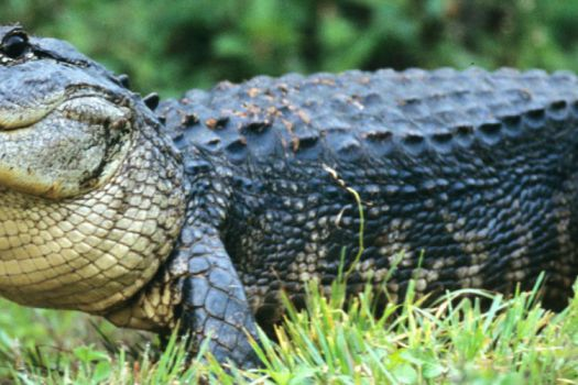 Everglades Alligator Park